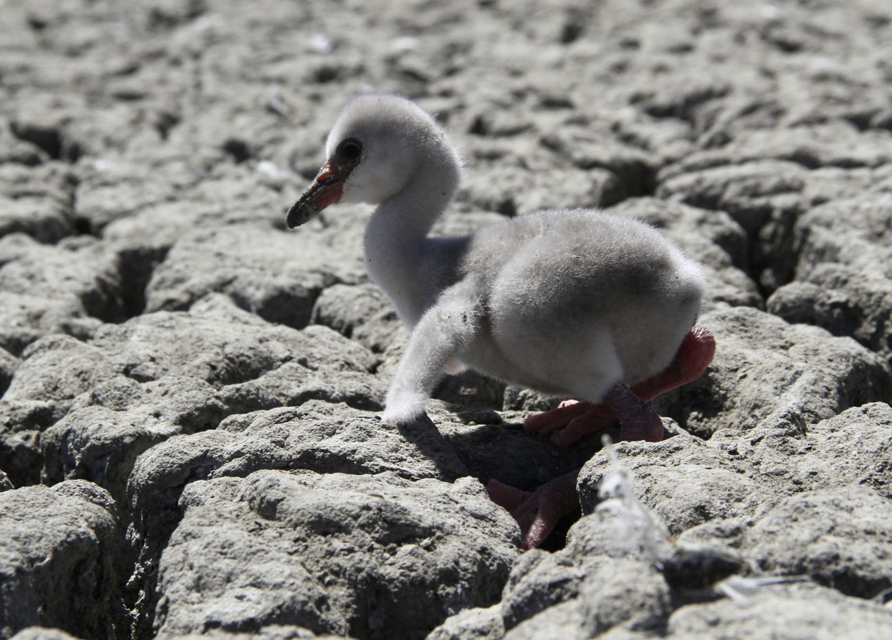 In this photo taken on Sunday, Jan. 27, 2019, a newly born flamingo chick struggles to walk on a dried out dam in Kimberley, South Africa. A special airlift for thousands of baby flamingos is underway in South Africa as drought has put their breeding  ground in peril.