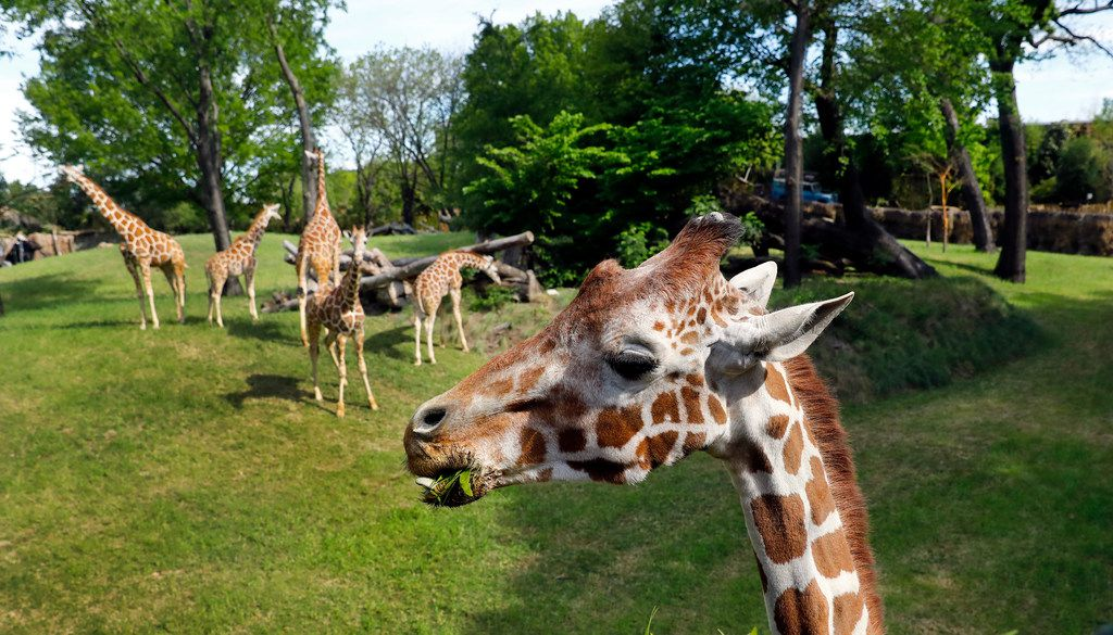 You can see Malaika and other giraffes at eye level in their new environment.