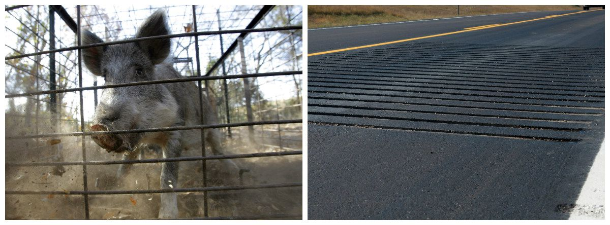 Left: A feral hog. Right: Rumble strips.
