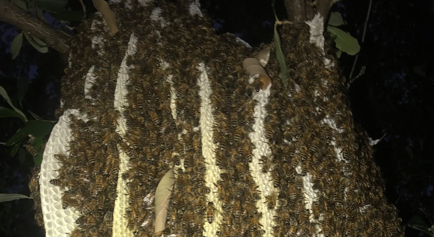 Rainey Rogers estimated a beehive found in a Celina woman's backyard was home to about 25,000 bees.