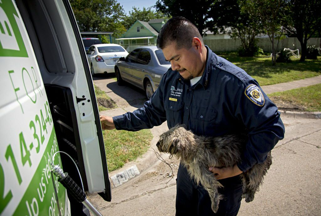 Esteban Rodriguez of Dallas Animal Services loads a stray dog into the back of his van Friday, May 20, 2016 in southern Dallas. (G.J. McCarthy/The Dallas Morning News)