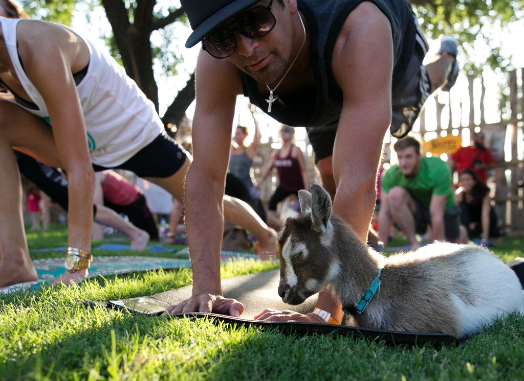Chachi Zavala watches a goat nap on his mat during the first goat yoga class in Dallas on June 16, 2017.