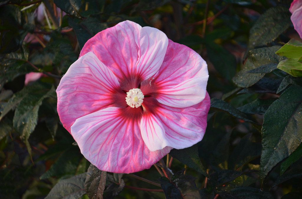 Summerific 'Cherry Choco Latte' Rose Mallow Hibiscus hybrid from Proven Winners