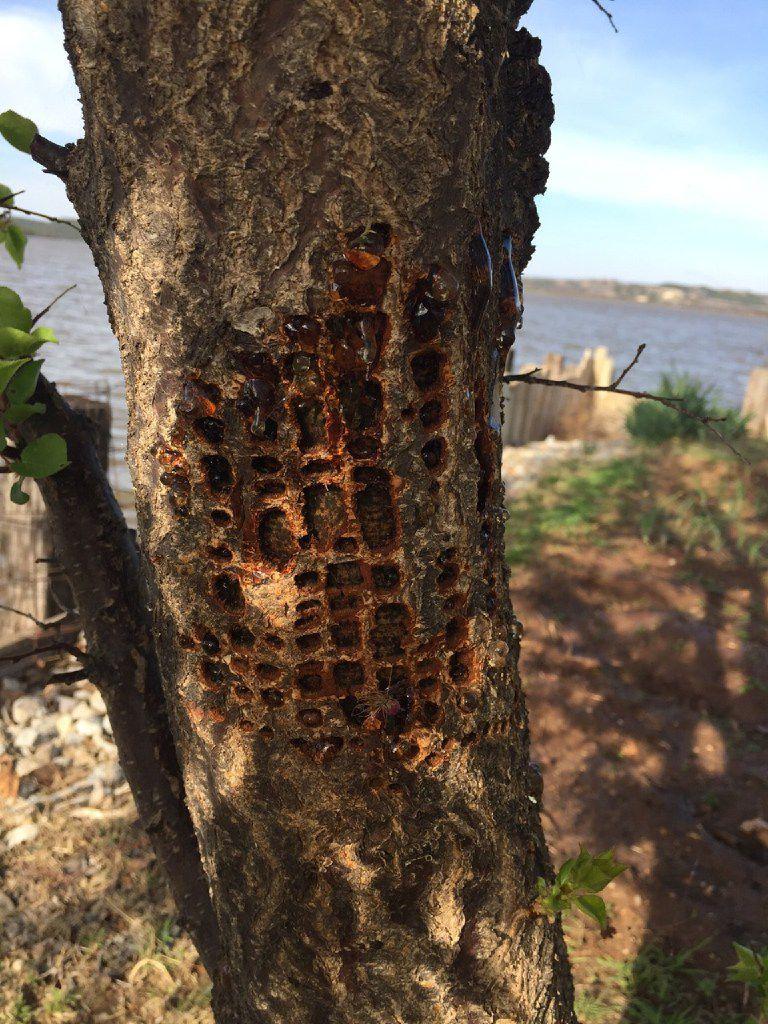 Sapsucker damage on apricot tree