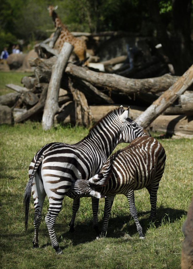 Nine-month-old Grant's zebra colt Jack feeds off his mother Roxie in the new 10-acre African Savanna exhibit at the Fort Worth Zoo.