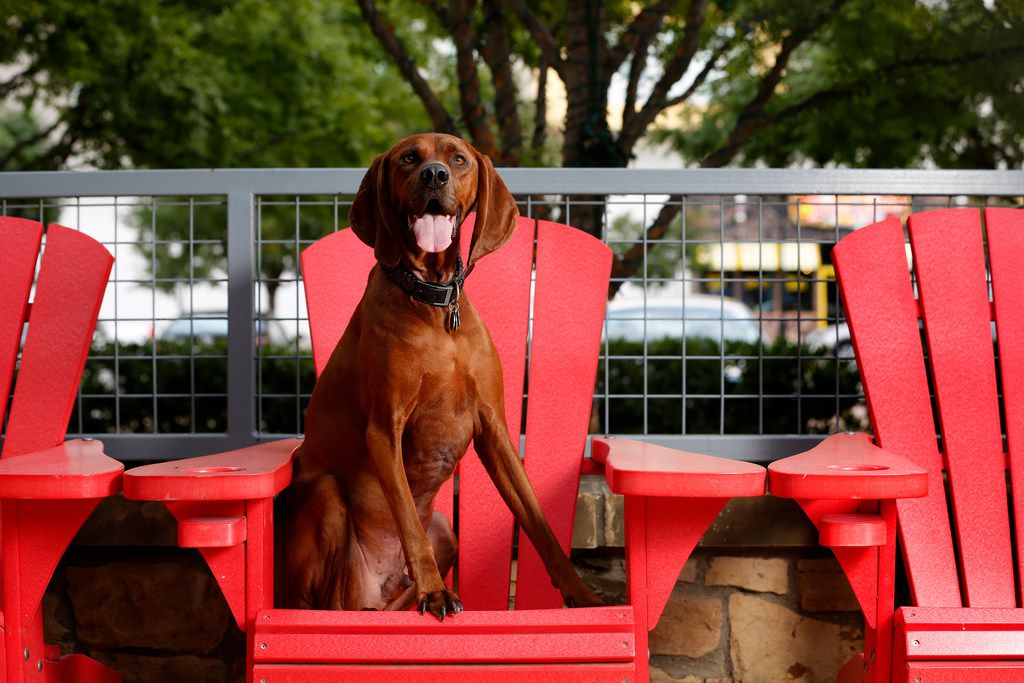 Guidry, a redbone coonhound who is the dog spokesperson for Dog Friendly Alliance founded by his owner Todd Boyce, poses for a photograph on the patio at LUCK in Dallas on Thursday, Aug. 9, 2018. (Rose Baca/The Dallas Morning News)