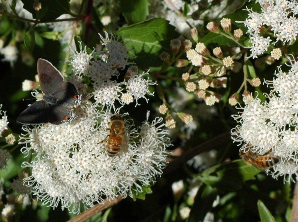 White mistflower attracts honeybees and butterflies.