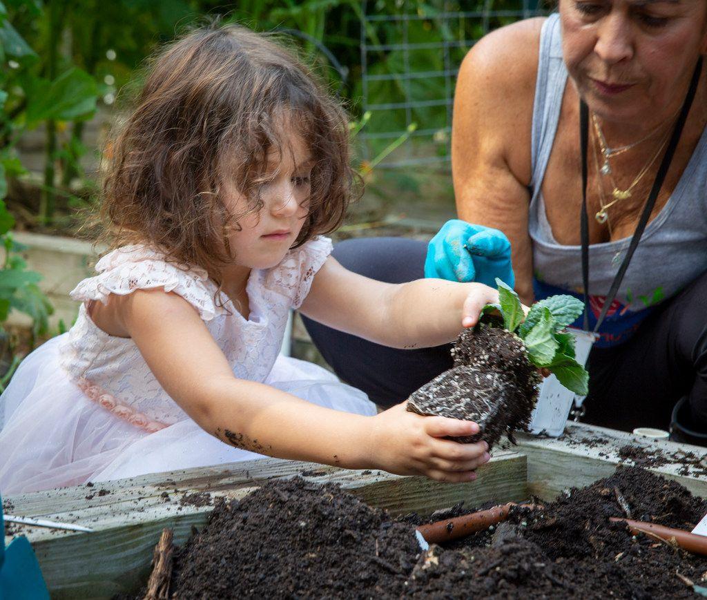 Pre-K student Maya Birk plants kale at Temple Emanu-El  school's garden in Dallas.