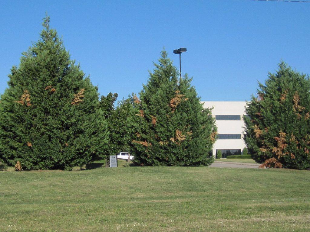 Leyland cypress tree with seridium canker disease in Richardson