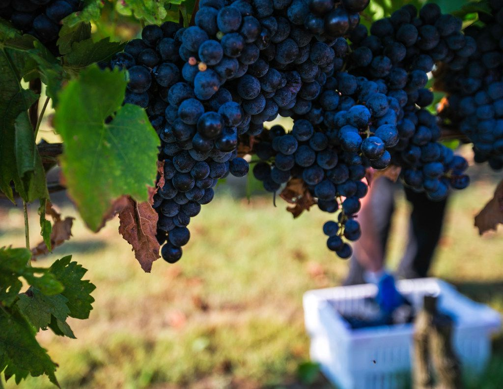 Tempranillo grapes ready for harvest at the Eden Hill Vineyards in Celina.