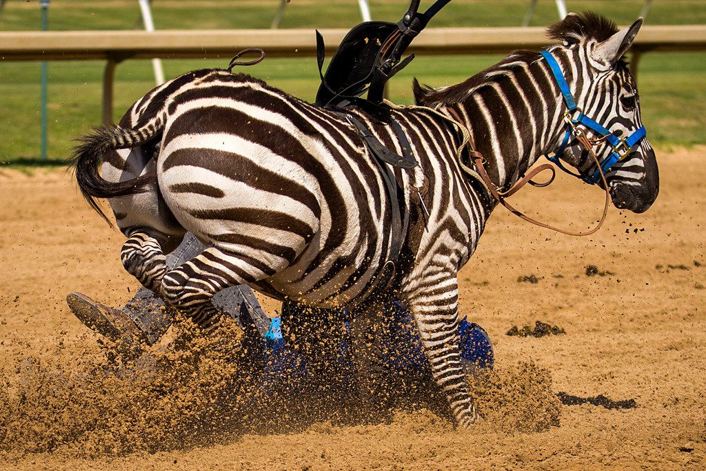 """Jockey Alex Alvarado falls from a zebra during """"Extreme Racing"""" at Lone Star Park on Saturday, April 28, 2018, in Grand Prairie, Texas. Ridden by Lone Star Park jockeys, camels, ostriches and zebras took to the track between horse races, with each animal paired with a local non-profit charity. (Smiley N. Pool/The Dallas Morning News)"""