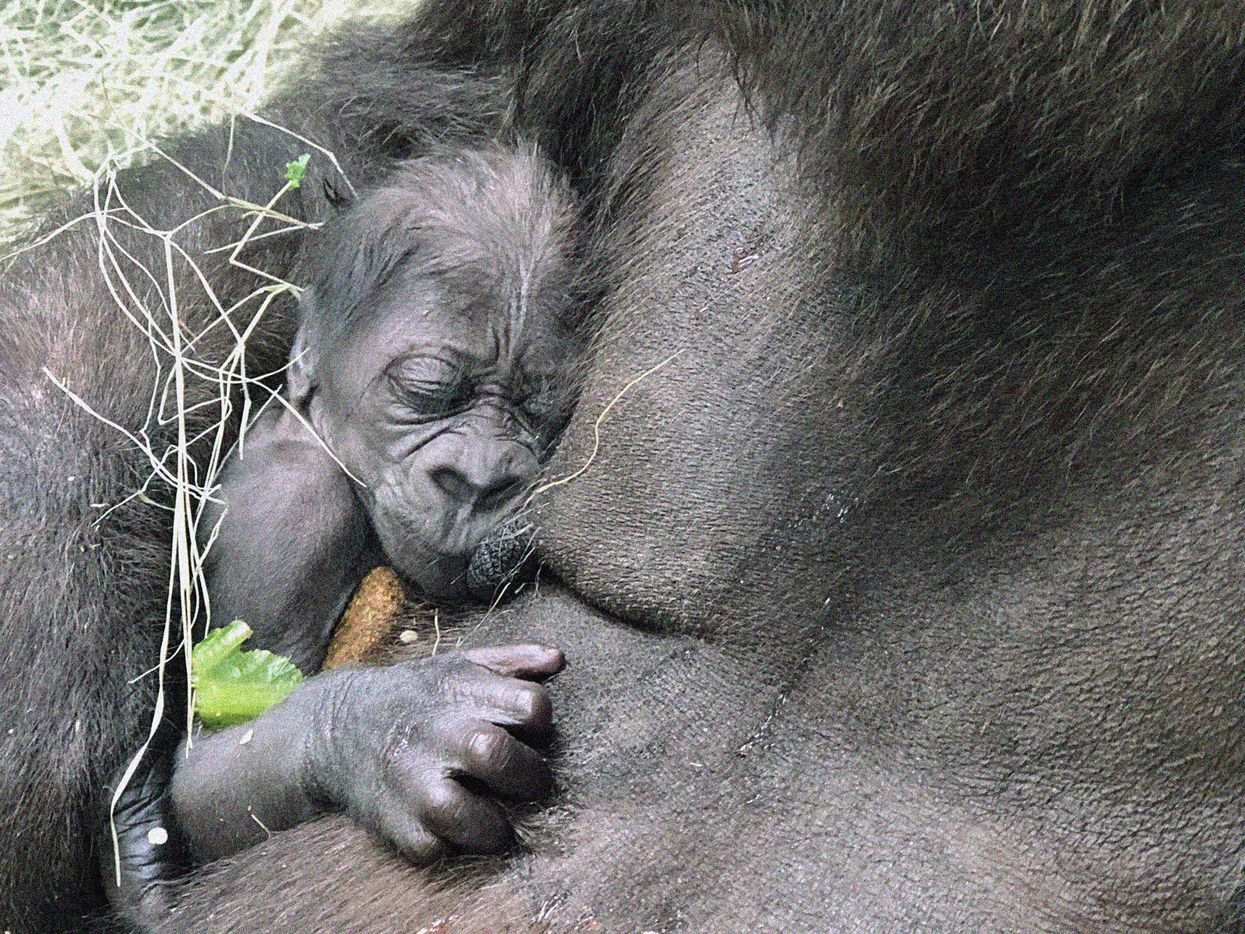 The Dallas Zoo's newborn gorilla sleeps against mother, Hope, while she eats. The baby was born June 25 and is the first baby gorilla at the zoo in 20 years.