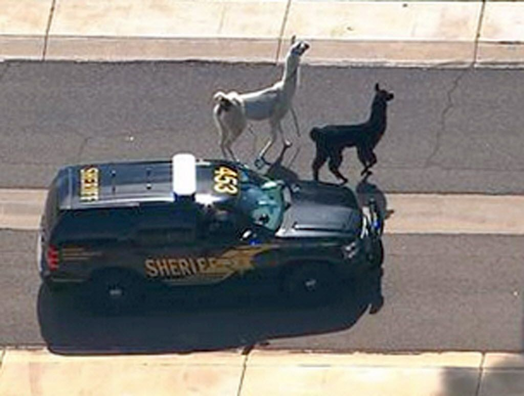 FILE - In this image taken from video and provided by abc15.com on Feb. 26, 2015,  a Maricopa County Sheriff's vehicle tries to herd two quick-footed llamas as they dash in and out of traffic before they were captured  in Sun City, Ariz.  The llamas that became a social media sensation running around the Phoenix suburb last month are saying goodbye to the spotlight. Owners Bub Bullis and Karen Freund say Kahkneeta and Laney, whose televised dash mesmerized the Internet and Sun City residents, will likely be making their last public appearance Saturday, March 28 at a Phoenix race track.  (AP Photo/abc15.com) MANDATORY CREDIT.