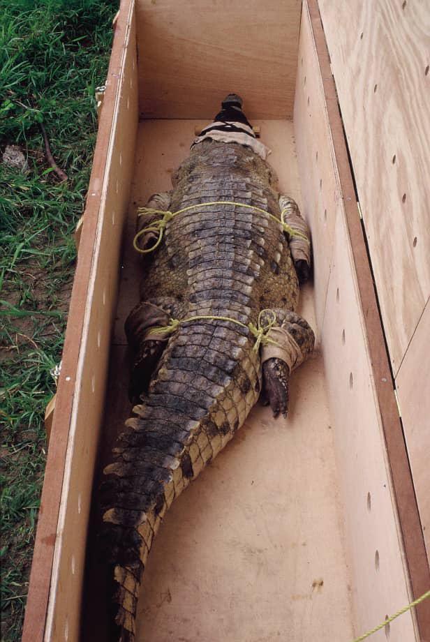 Autoridades de Profauna, en Venezuela, trasladaron al cocodrilo Juancho en una camioneta en 1998. Fue llevado al criadero agropecuario Puerto Miranda, donde meses más tarde fue entregado a Daryl Richardson, dueño y director del Acuario Mundial de Dallas. CECILIA GONZÁLEZ/CORTESÍA