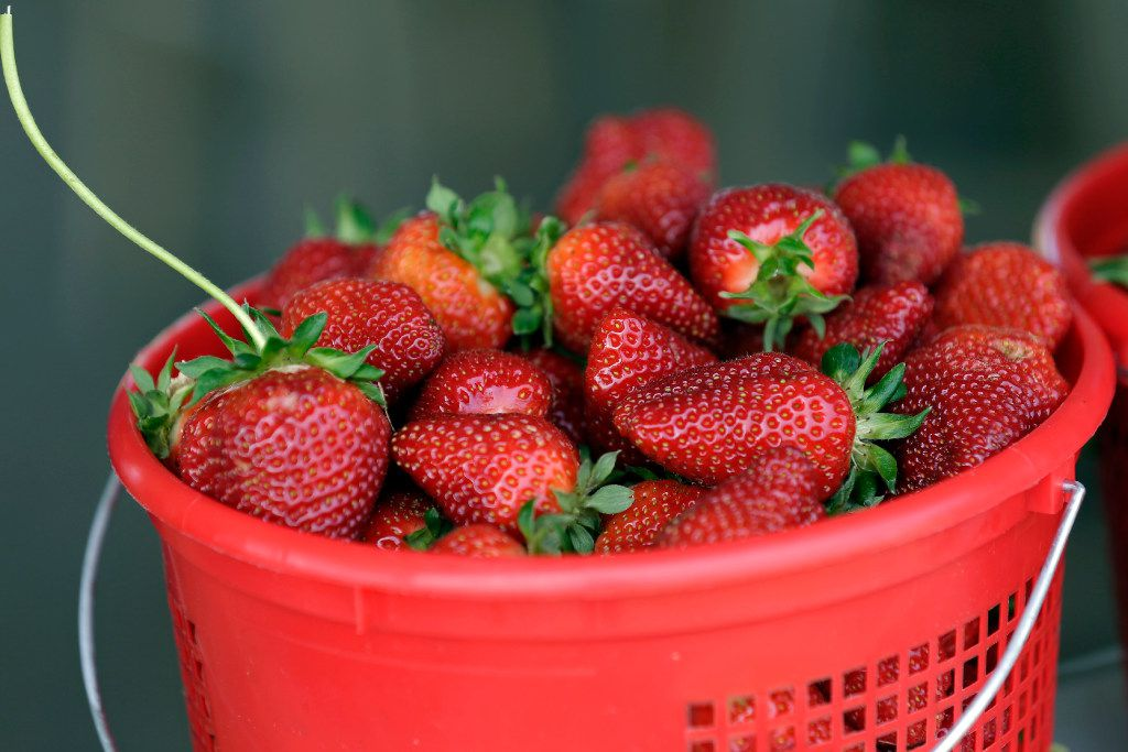 Fresh-picked strawberries fill a bucket at McAdams Farm in Efland, N.C., Friday, April 28, 2017. Following an early spring and despite some late frost, McAdams Farm is enjoying an early and plentiful crop of strawberries. (AP Photo/Gerry Broome)