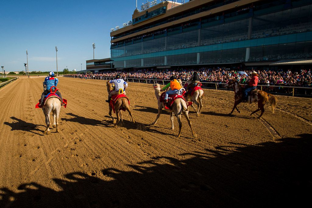 """Jockeys ride camels from the starting gates during """"Extreme Racing"""" at Lone Star Park on Saturday, April 28, 2018, in Grand Prairie, Texas. Ridden by Lone Star Park jockeys, camels, ostriches and zebras took to the track between horse races, with each animal paired with a local non-profit charity. (Smiley N. Pool/The Dallas Morning News)"""