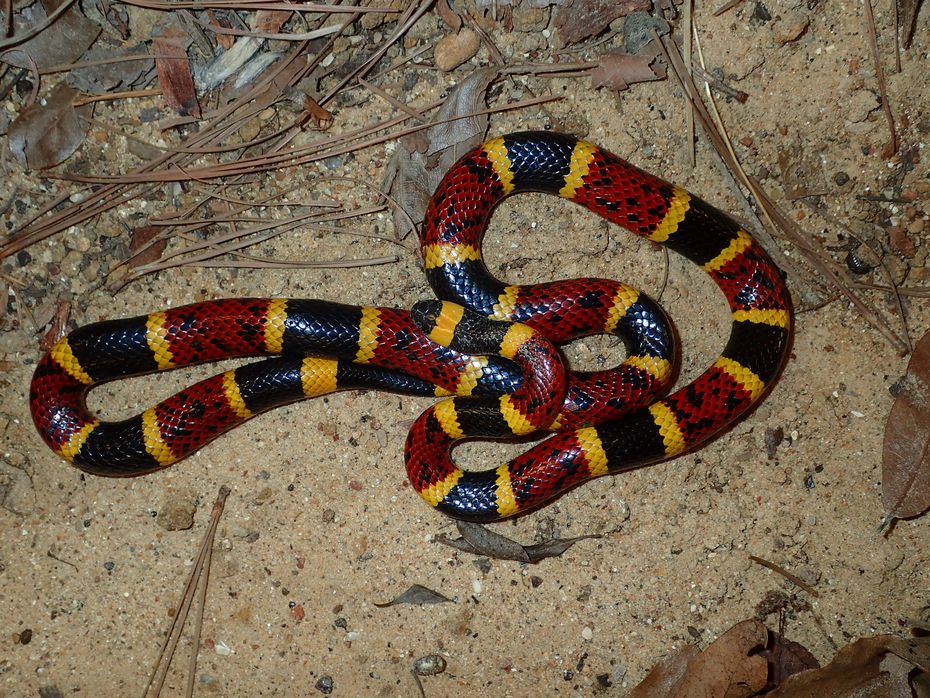 Texas coral snakes are among the venomous snakes in Texas.