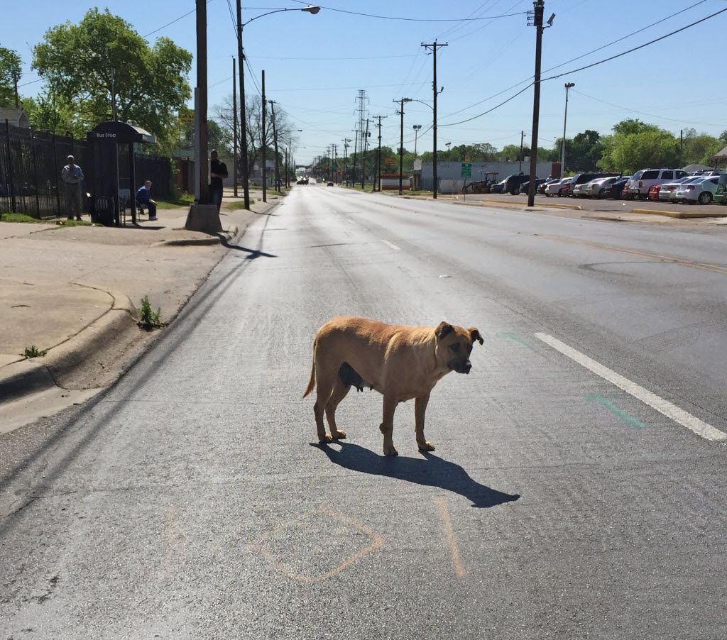 A pregnant or nursing stray dog waited to cross Second Avenue at Jamaica in the Fair Park area in April 2016.