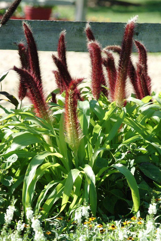 'Jade Princess' ornamental millet