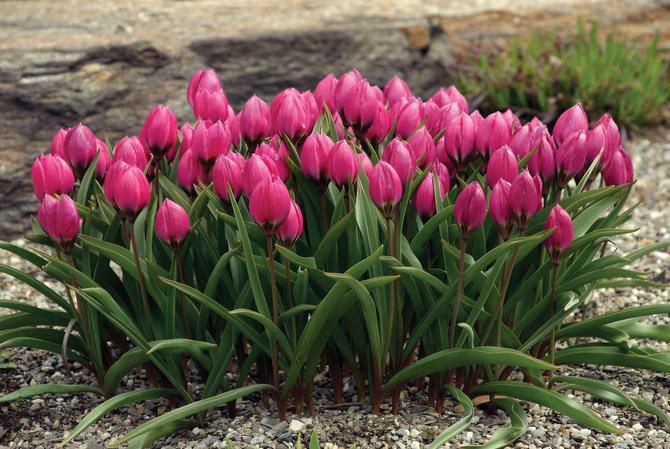 The vivid violet-red flowers of Tulipa humilis 'Violacea' bloom close to the ground. It is native to Iran and Turkey. Mail-order bulbs purchased now should be stored in the refrigerator until late fall.