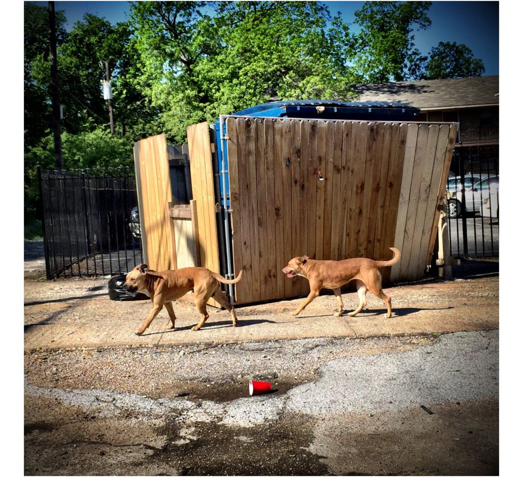 Two stray dogs pass apartments in southern Dallas in April 2016.