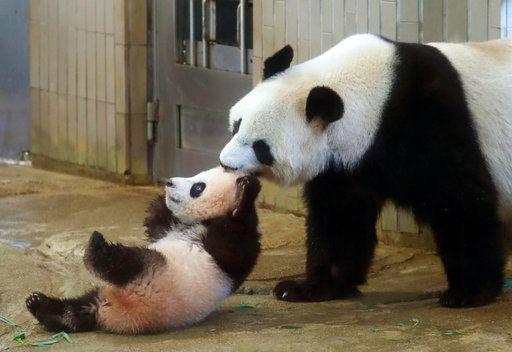 Mamá panda Shin Shin jala a su cría Xiang Xiang, izquierda, en el Zoológico Ueno en Tokio, el martes 19 de diciembre del 2017. (Kyodo News via AP)