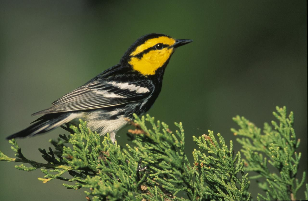 An undated handout photo of a golden-cheeked warbler. The diminutive songbird, which weighs less than an ounce, is at the center of a classic environment-vs.-development confrontation over emerging efforts to end its 25-year status as an endangered species.