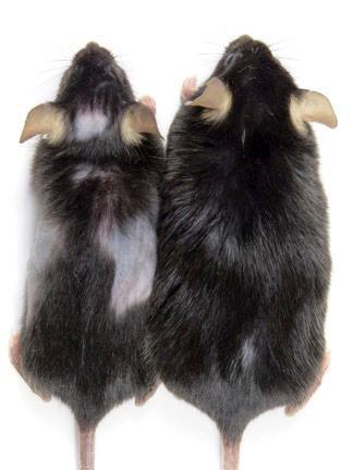 El ratón en la izquierda muestra calvicie luego de que las células KROX20 le fueron eliminadas.
