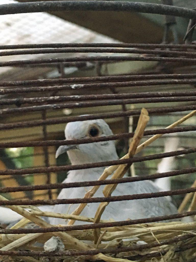 Tiny, white diamond doves in Mariana Greene's chicken run in Dallas.