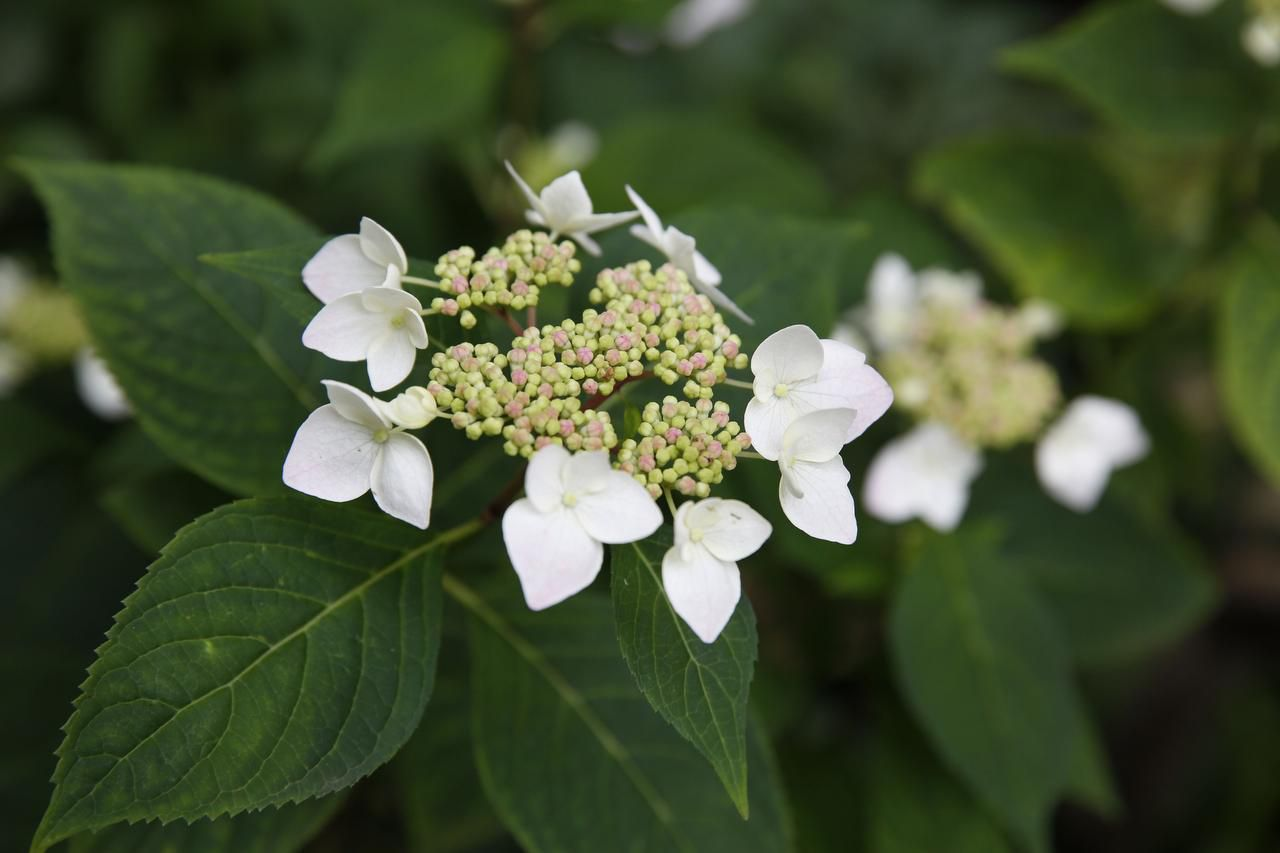 Hydrangea Serrata at Mariana Greene's home
