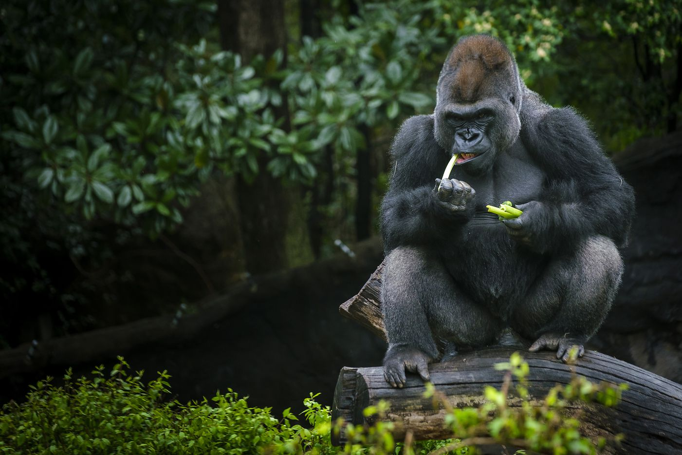 A a gorilla munches on celery inside the Gorilla Research Station habitat at the Dallas Zoo.