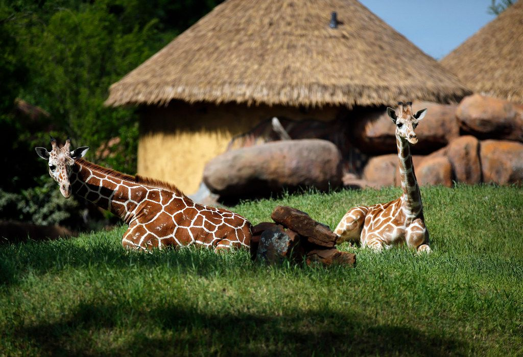 One year-old baby giraffes Beltre (right, named after Texas Rangers baseball player Adrian Beltre) and Buddy relax in their new enclosure.