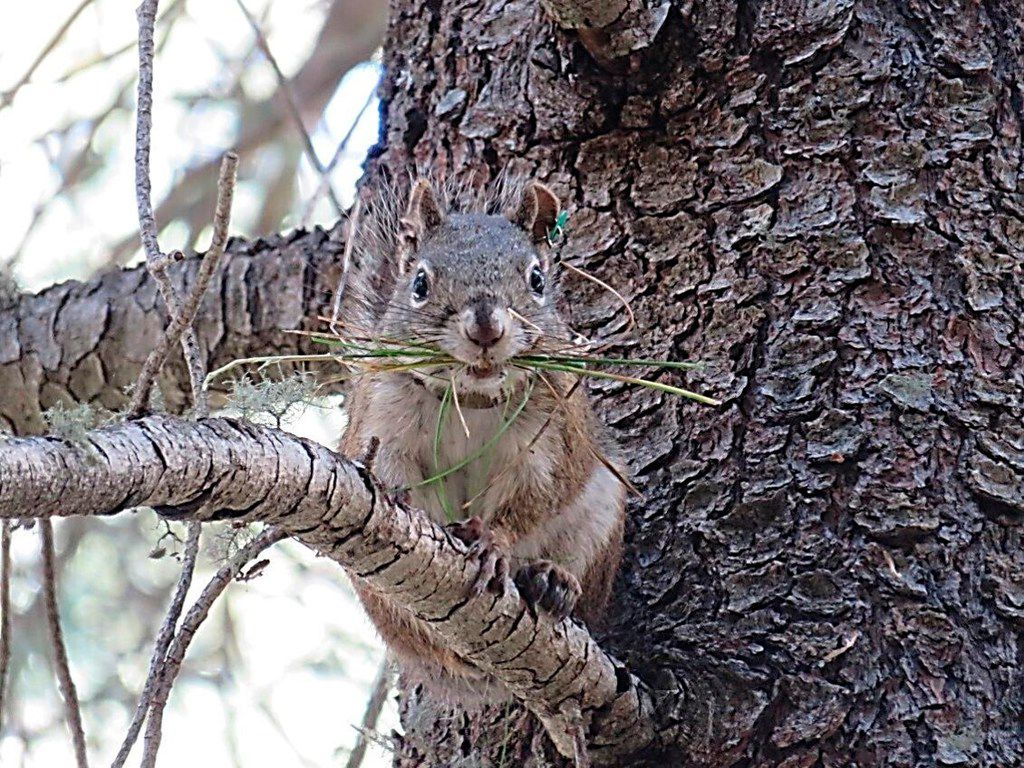 This undated photo provided by the U.S. Fish and Wildlife Service shows a Mount Graham red squirrel in the Pinaleno Mountains of Arizona.