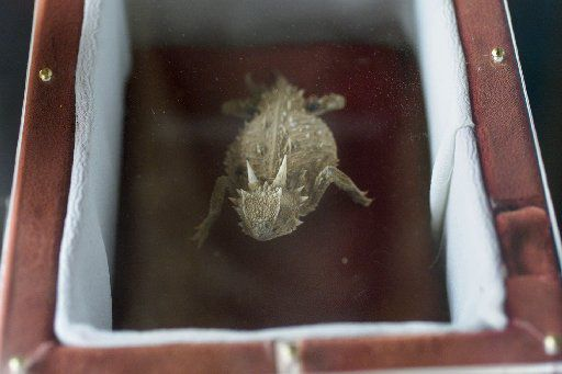 The embalmed body of the horny toad named Old Rip.