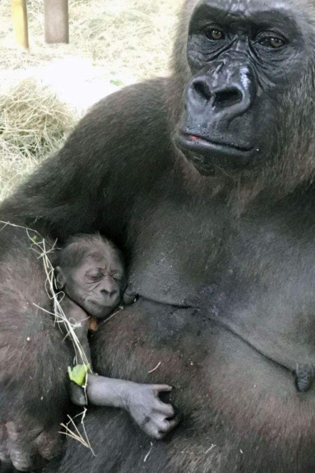 Hope's baby clings to her shortly after birth June 25 at the Dallas Zoo. The baby gorilla is the first at the zoo in 20 years.