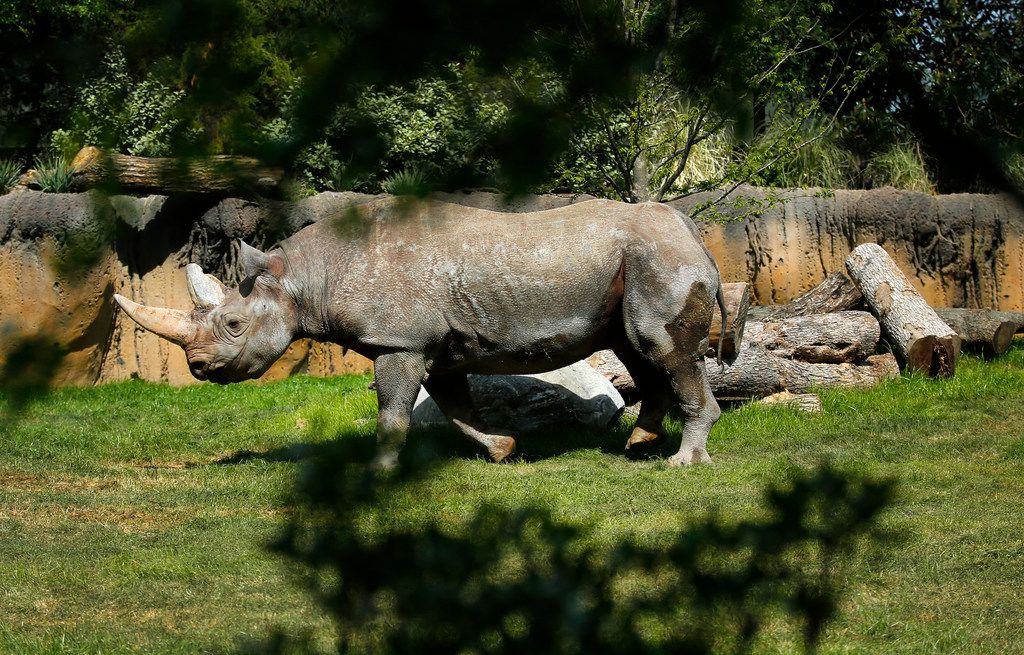 After two days in its new enclosure, a black rhino trots around the new 10-acre African Savanna exhibit.