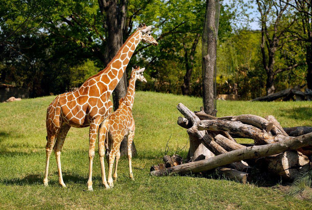 Baby giraffe Beltre (named after Texas Rangers baseball player Adrian Beltre) hangs close to his mother, Kala.
