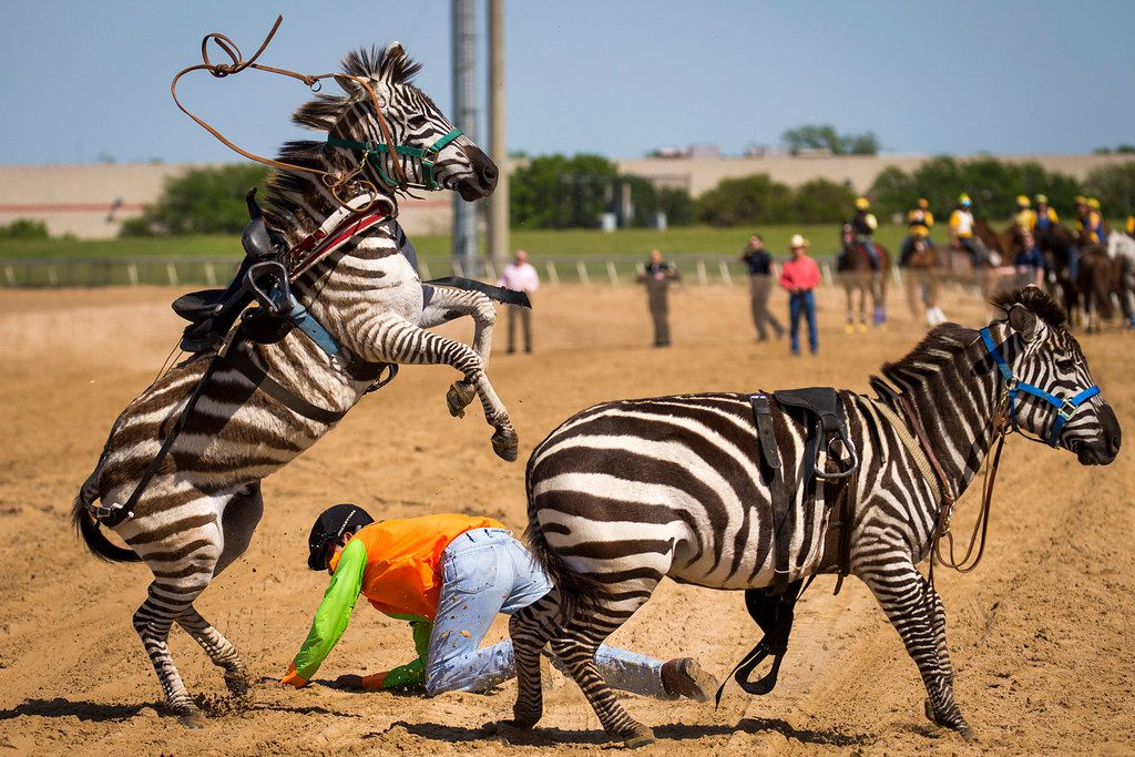 """Jockey Fernando Guerra falls from a zebra during """"Extreme Racing"""" at Lone Star Park on Saturday, April 28, 2018, in Grand Prairie, Texas. Ridden by Lone Star Park jockeys, camels, ostriches and zebras took to the track between horse races, with each animal paired with a local non-profit charity. (Smiley N. Pool/The Dallas Morning News)"""