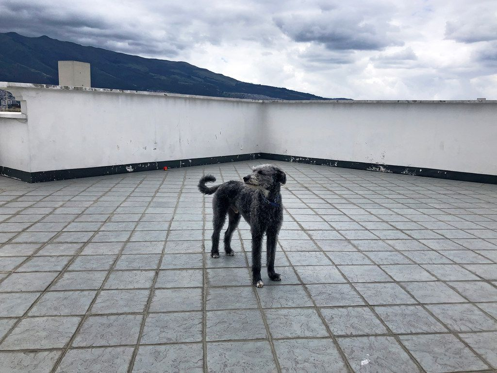 Fischer, a part Irish wolfhound, lives in north Quito, Ecuador, an affluent neighborhood with an American international school (where his owners work) and the U.S. Embassy. The apartment has a rooftop desk that overlooks Pichincha, an active volcano, and is near Parque Metropolitano Guanguiltagua, a massive urban green space with large-scale sculptures and views of the valley. MUST CREDIT: Washington Post photo by Andrea Sachs