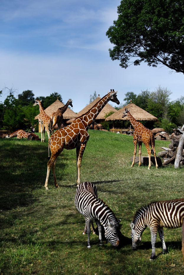 Giraffes and Grant's zebras meander about their new environment in new 10-acre African Savanna exhibit at the Fort Worth Zoo.