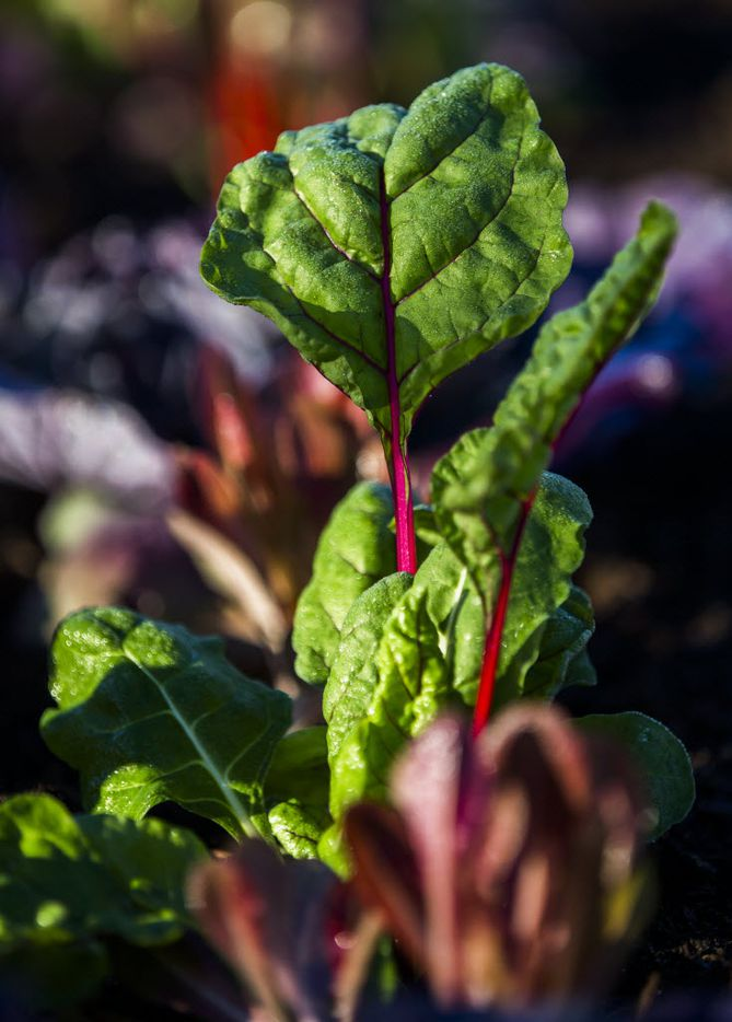 Lettuce and other greens grow in a garden behind the new location of Magnolia Market at the Silos, owned by Chip and Joanna Gaines, hosts of HGTV's Fixer Upper, on Thursday, October 29, 2015 at Magnolia Market at the Silos in Waco, Texas.   (Ashley Landis/The Dallas Morning News)