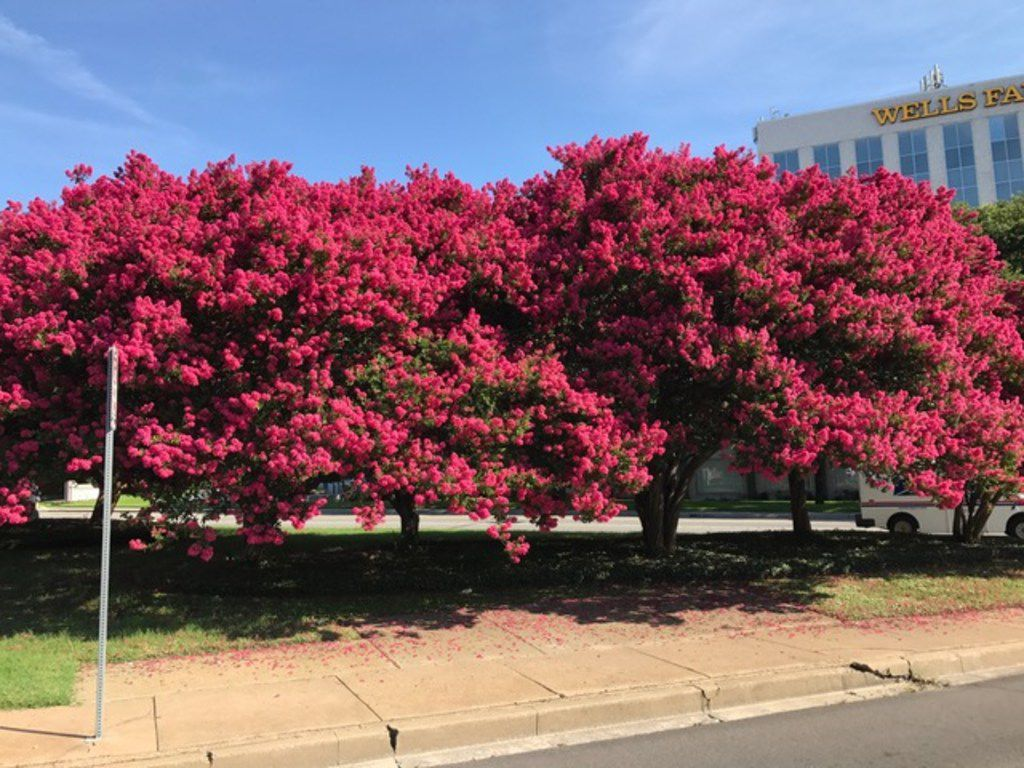 Crape myrtle trees showing off their potential with vibrant blooms.