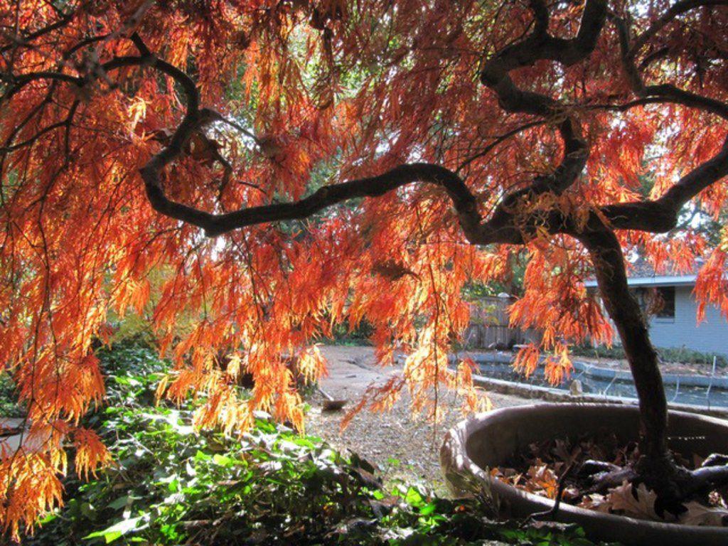 'Crimson Queen' Japanese maple tree (Acer palmatum var. dissectum)