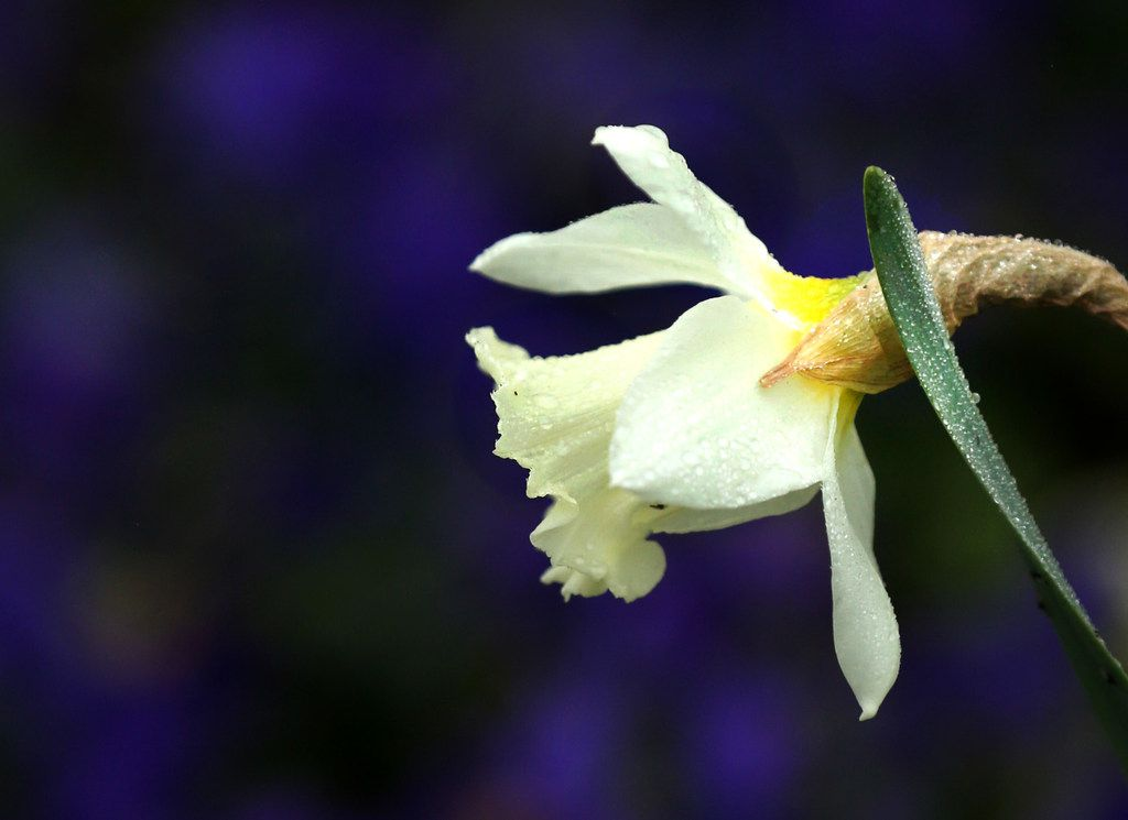 "A daffodil bloomed in the rain at the Dallas Arboretum on Feb. 22, 2019. The annual Dallas Blooms festival, themed ""Life's A Picnic,"" runs through April 7 and will include more than 100 varieties of spring-blooming bulbs and 500,000 tulips."