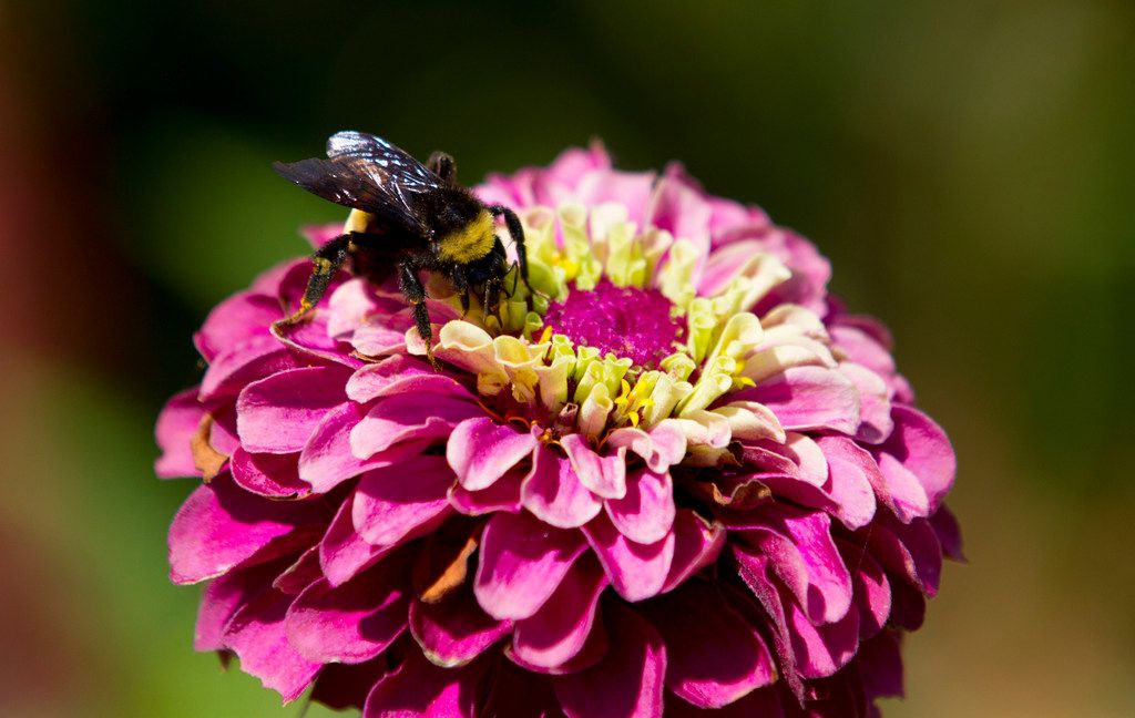 "A bumblebee sits on a ""Queen Red Lime"" zinnia."