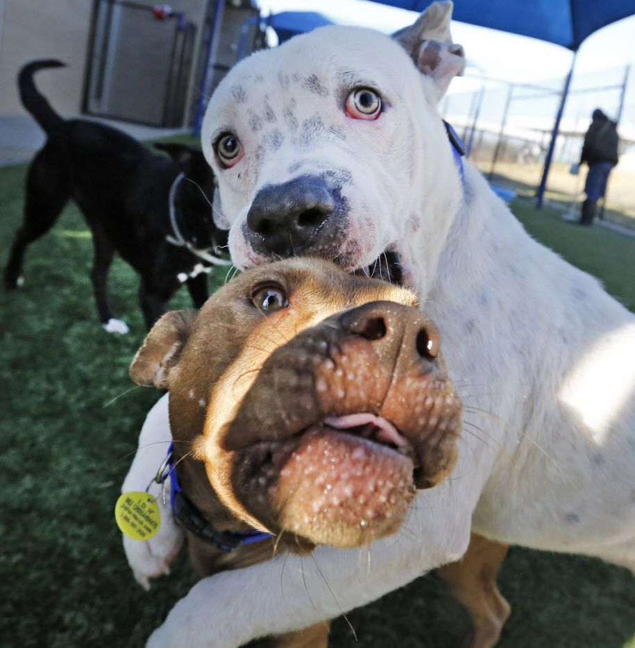Dogs Blaze, top, and Khan roughhouse as they play with other dogs during an outdoor playgroup session at Dallas Animal Services Friday.