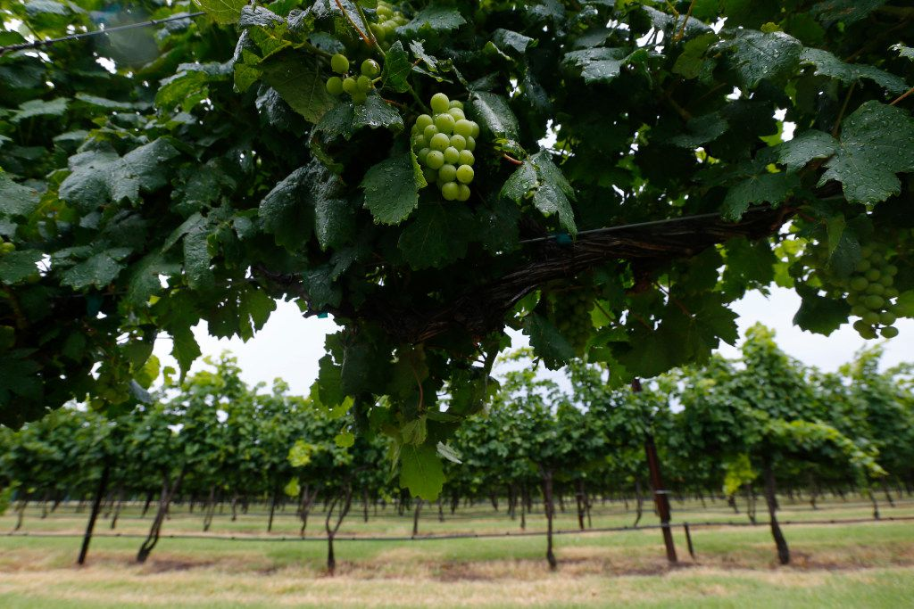 Grapevines at Eden Hill Vineyard & Winery in Celina, Texas on June 1, 2017.