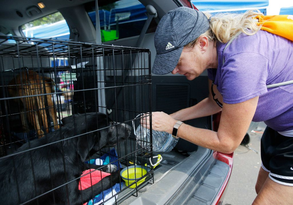 Volunteer Juliette Howard of Katy pours water in a dogs crate for one of many rescued dogs waiting to be taken to the Austin area after going through tests in a makeshift tent city run by Austin Pets Alive! in Katy on Sunday, September 3, 2017.  The nonprofit group is working on getting pets to their families as well as keep the pets alive. (Vernon Bryant/The Dallas Morning News)