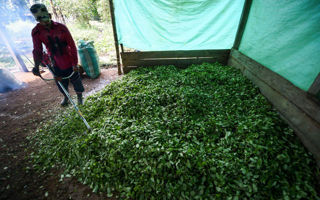 Farmer Miguel Mangos processed coca leaves to make cocaine base paste last September at a clandestine farm next to the Inirida River in Colombia.