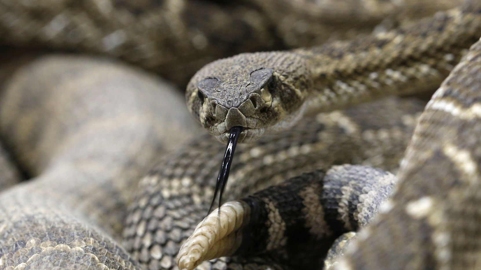 Rattlesnakes in the collection pit at Nolan County Coliseum during the Sweetwater Rattlesnake Roundup in Sweetwater, Texas on March 10, 2017. (Nathan Hunsinger/The Dallas Morning News)